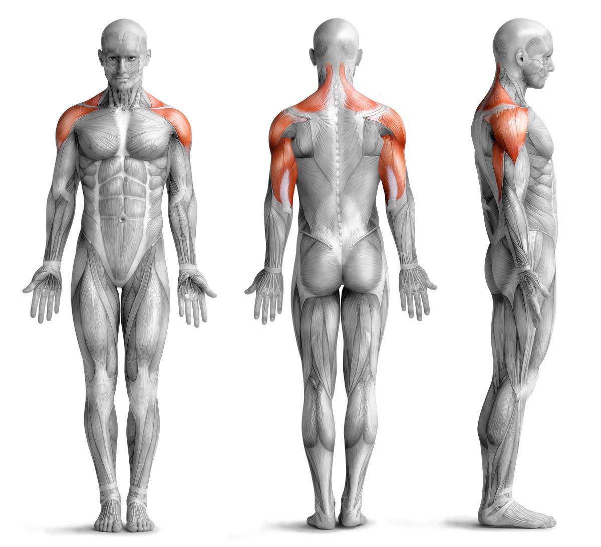 Beanspruchte Muskulatur beim Schulterdrücken