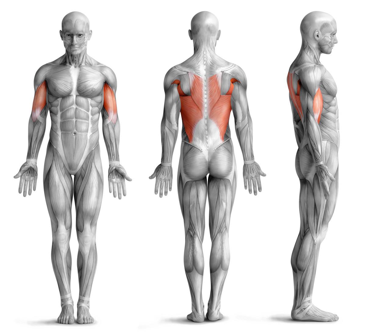Klimmzüge beanspruchte Muskulatur
