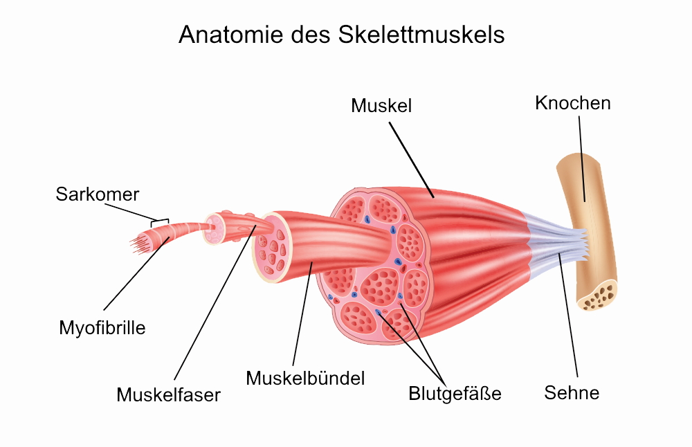 Anatomie des Skelettmuskels