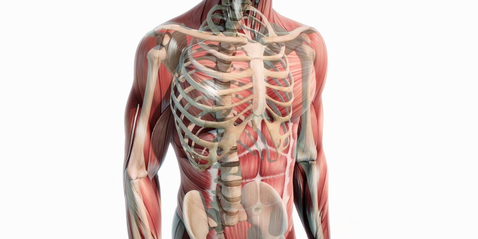 Muskeln und Knochen Oberkörper