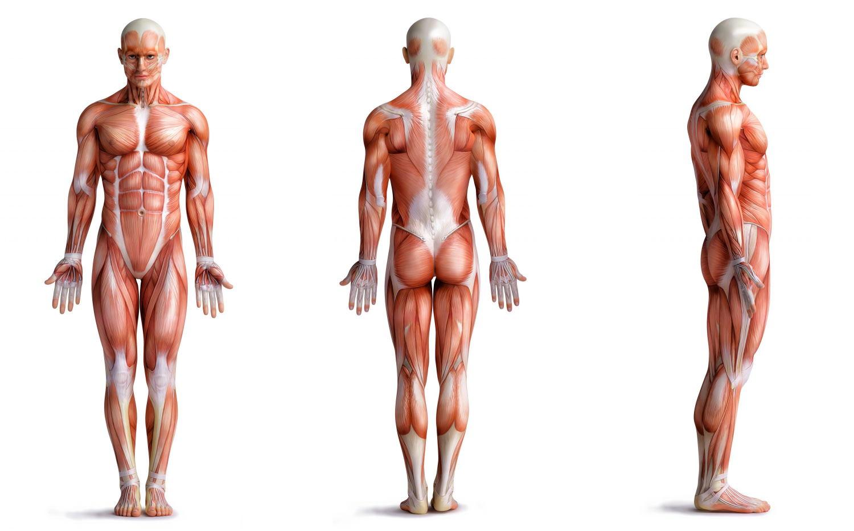 Muskulatur gesamter Körper