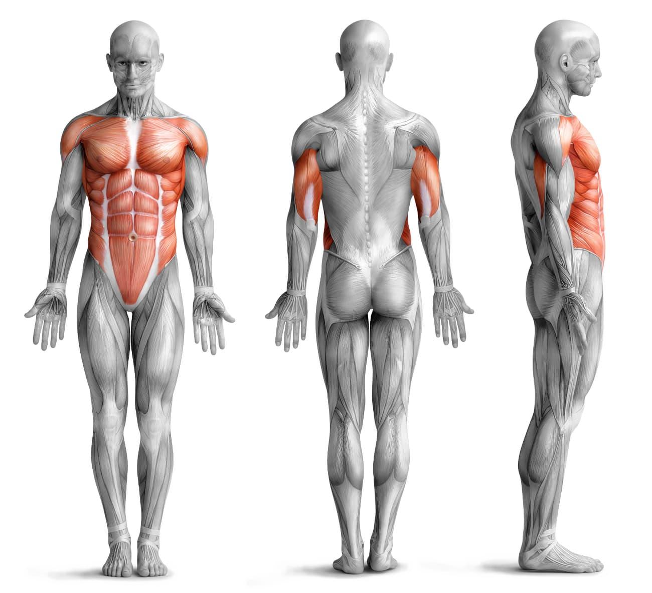 Liegestütze beanspruchte Muskulatur